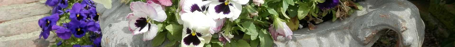 Pansies in an urn
